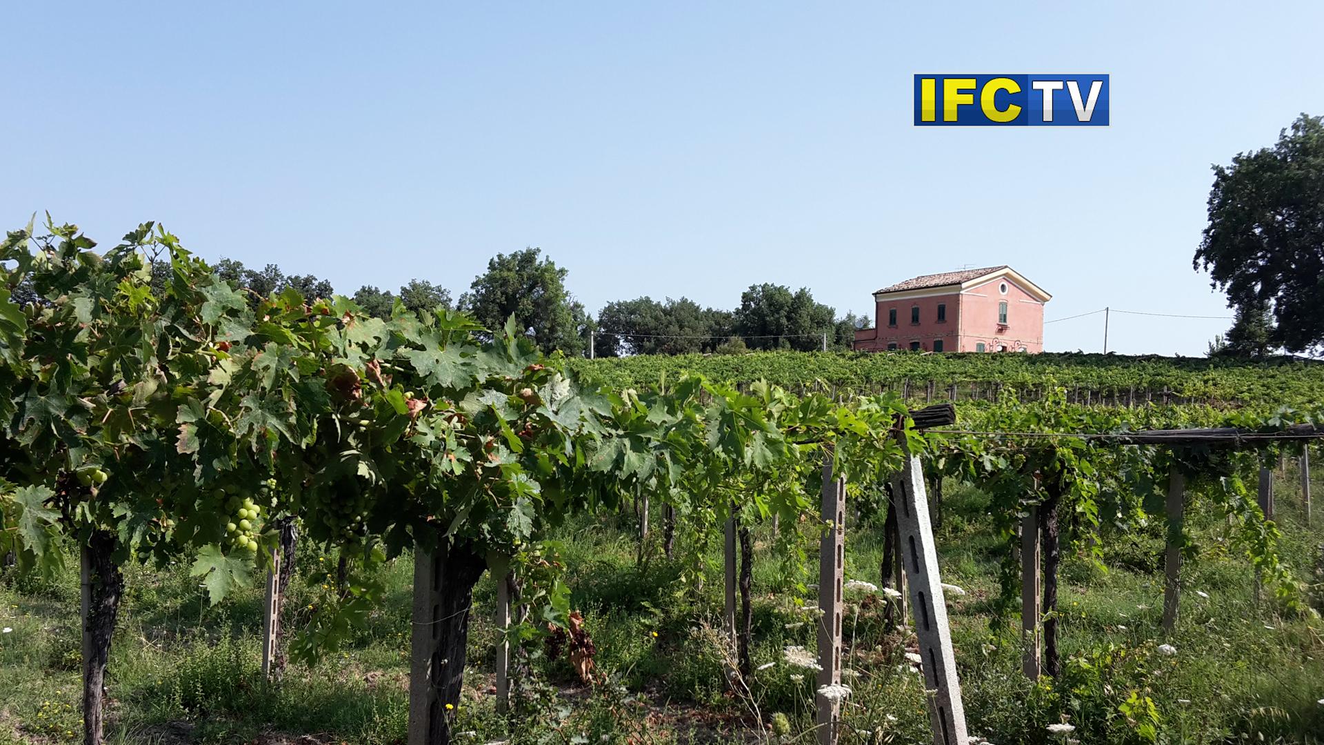 Il Trebbiano è uno dei vini più diffusi d'Italia