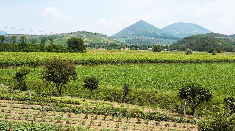 I vini vulcanici dei Colli Euganei